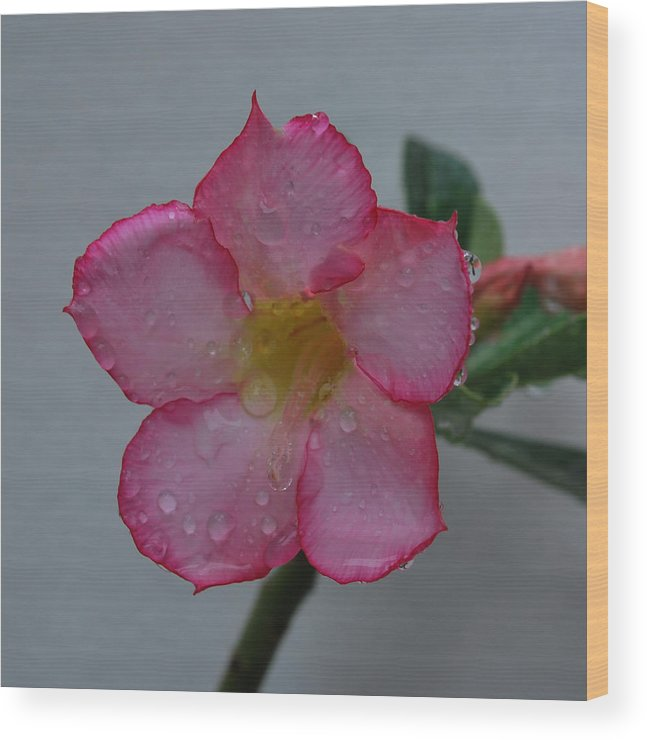 Rose Wood Print featuring the photograph Desert Rose On White by John Roncinske