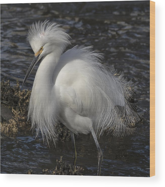 Egret Wood Print featuring the photograph Glorious Egret by Bruce Frye