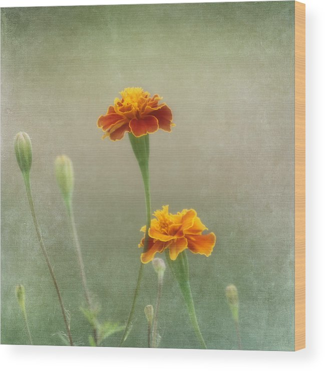 Flower Wood Print featuring the photograph Marigold Fancy by Kim Hojnacki