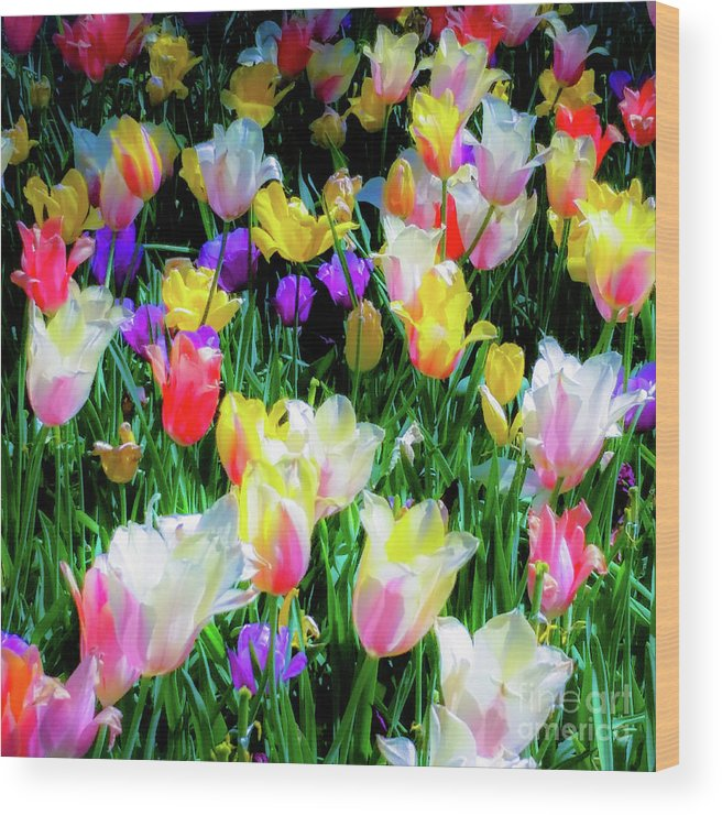 Tulips Wood Print featuring the photograph Mixed Tulips In Bloom by D Davila