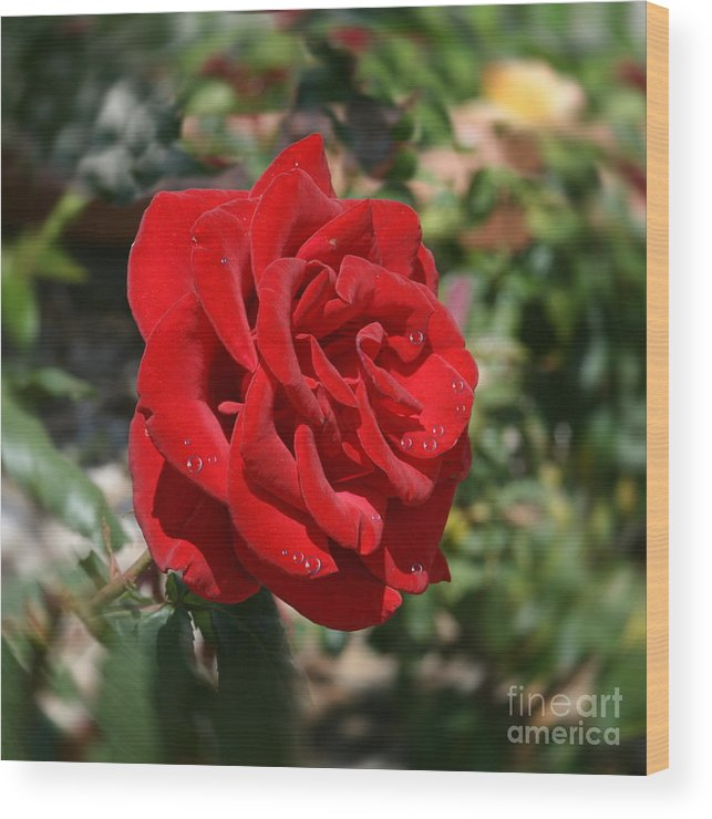 Flower Wood Print featuring the photograph Red Rose by Terry Burgess