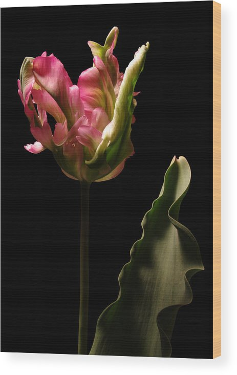 Tulip Wood Print featuring the photograph Pink and Green Parrot Tulip by Vince Risner