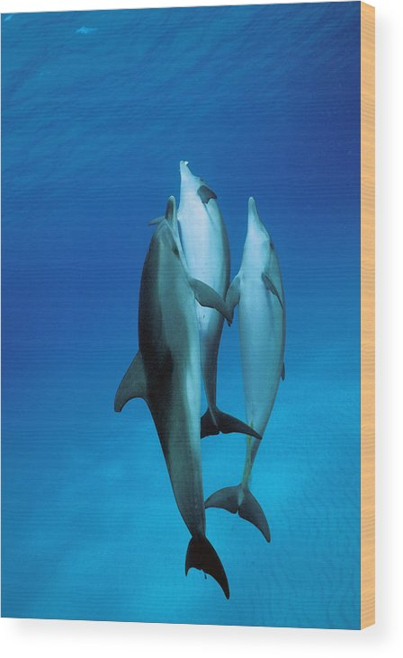 Feb0514 Wood Print featuring the photograph Atlantic Spotted Dolphin Juveniles by Hiroya Minakuchi