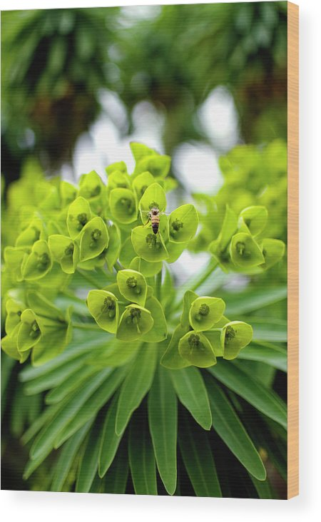 Insect Wood Print featuring the photograph Bee Pollenating Flower by Pete Starman