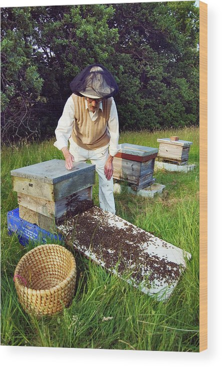Apis Mellifera Wood Print featuring the photograph Beekeeper Hiving A Honeybee Swarm by Simon Fraser/science Photo Library