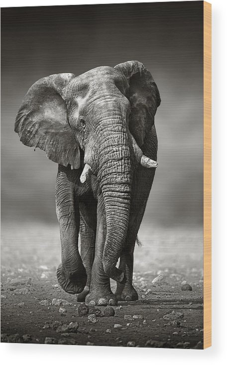 Elephant Wood Print featuring the photograph Elephant approach from the front by Johan Swanepoel