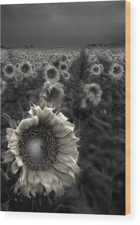 Featured Art Wood Print featuring the photograph Haunting Sunflower Fields 1 by Dave Dilli