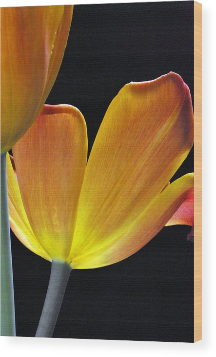 Flower Wood Print featuring the photograph Luminescent Tulips by Keith Gondron