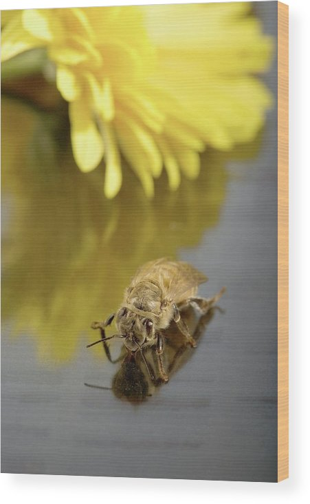 Honey Bee Wood Print featuring the photograph Newly Emerged Honey Bee by Peggy Greb/us Department Of Agriculture