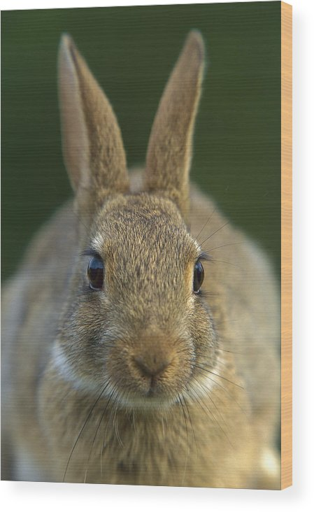 Mp Wood Print featuring the photograph European Rabbit Oryctolagus Cuniculus by Cyril Ruoso