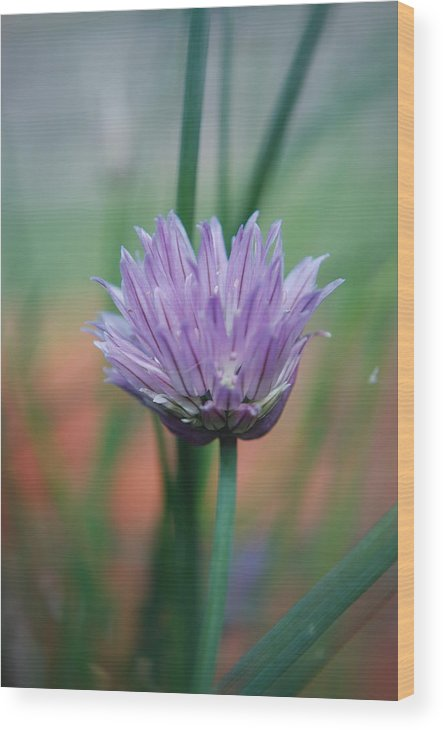 Flowers Wood Print featuring the photograph Chive flower by Lisa Gabrius