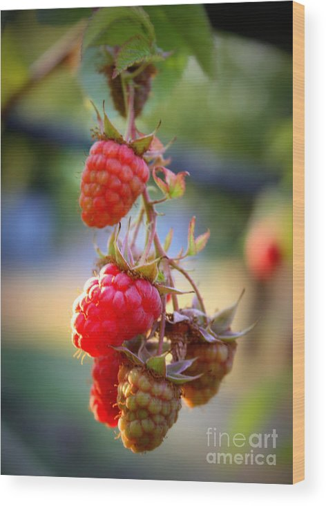 Food And Beverage Wood Print featuring the photograph Backyard Garden Series - The Freshest Raspberries by Carol Groenen
