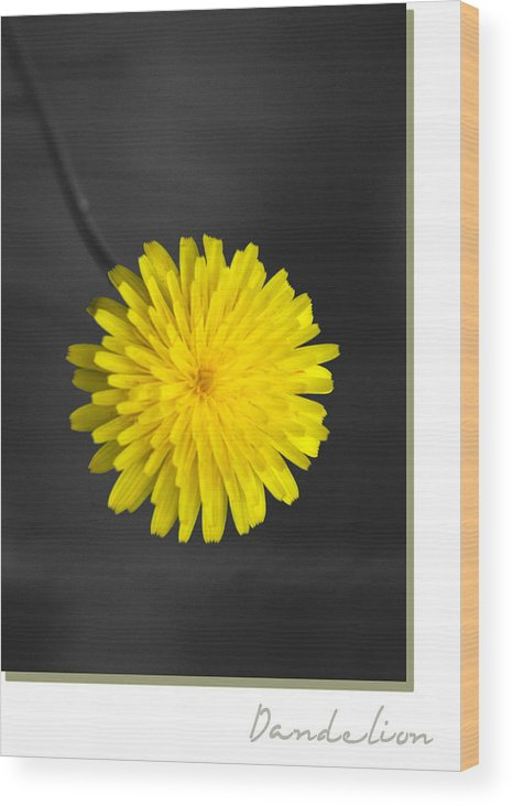 Floral Wood Print featuring the photograph Dandelion by Holly Kempe