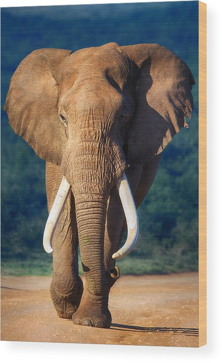 Elephant Wood Print featuring the photograph Elephant approaching by Johan Swanepoel