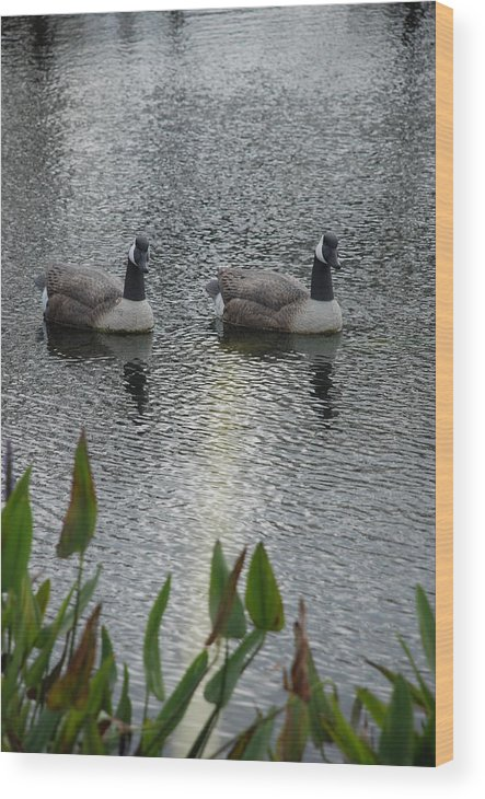 Water Wood Print featuring the photograph Geese by Rob Hans