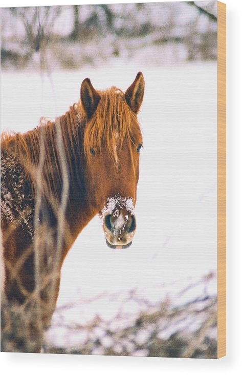 Horse Wood Print featuring the photograph Horse in winter by Steve Karol