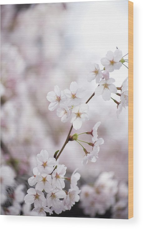 Celebration Wood Print featuring the photograph Cherry Blossoms by Ooyoo