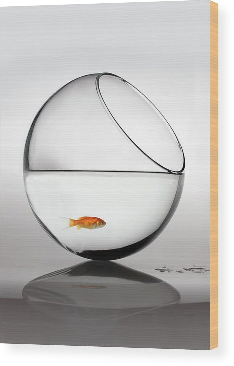 White Background Wood Print featuring the photograph Fish In Fish Bowl Stressed In Danger by Paul Strowger