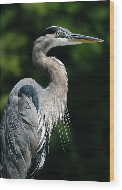 North Carolina Wood Print featuring the photograph Great Blue Heron by Bill Swindaman