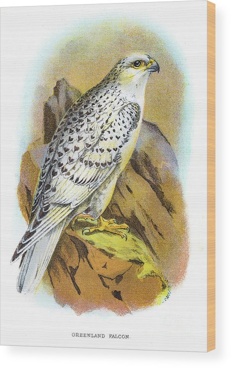 Engraving Wood Print featuring the digital art Greenland Falcon Engraving 1896 by Thepalmer