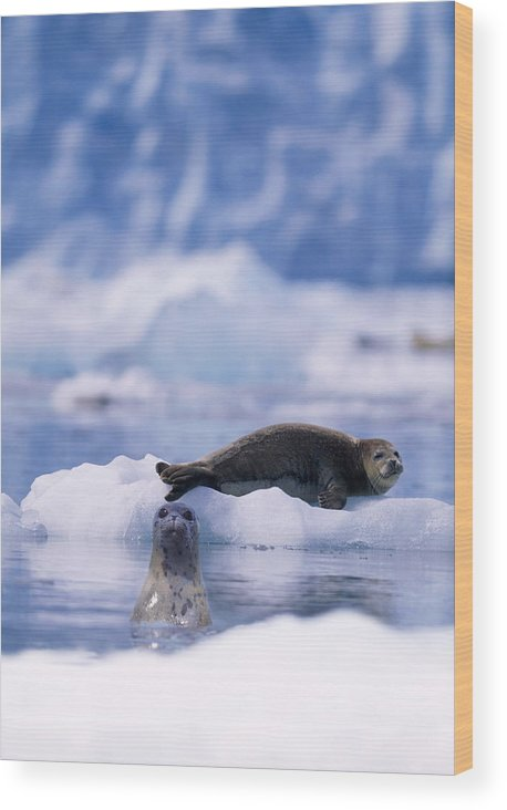 Animal Themes Wood Print featuring the photograph Harbor Seal Phoca Vitulina In Glacial by Paul Souders