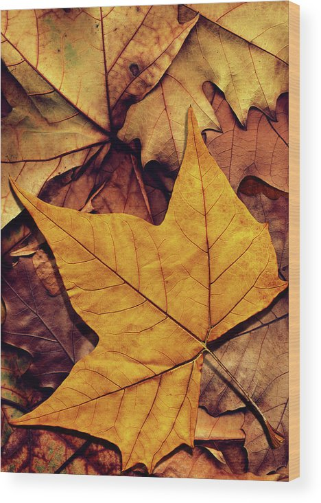 Orange Color Wood Print featuring the photograph High Resolution Dry Maple Leaf On by Miroslav Boskov