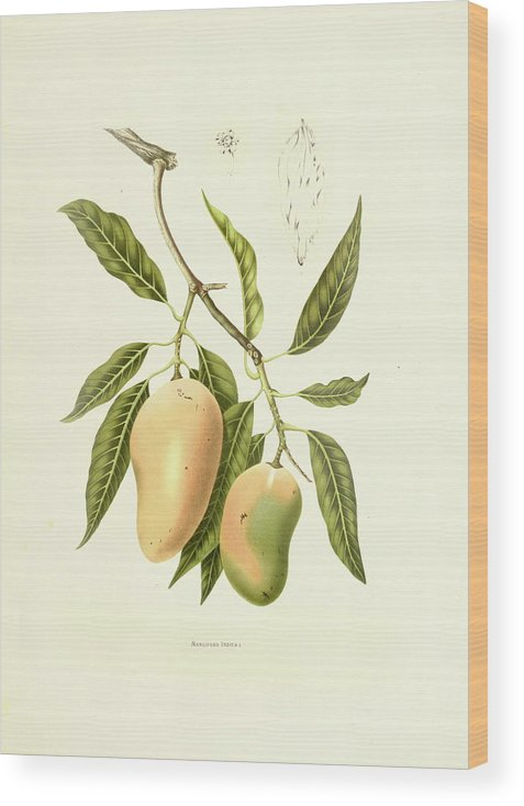 Artist Wood Print featuring the digital art Indian Mango | Antique Plant by Nicoolay
