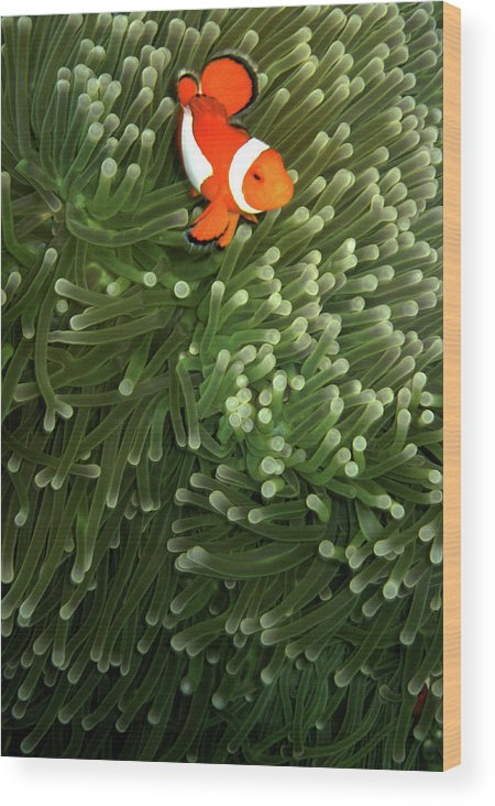 Underwater Wood Print featuring the photograph Orange Fish With Yellow Stripe by Perry L Aragon