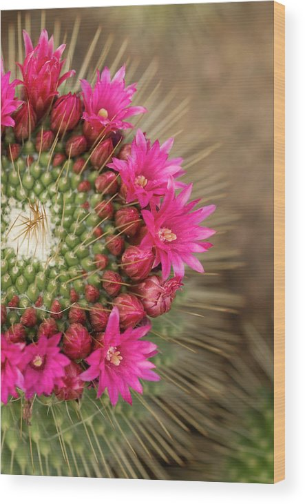 Bud Wood Print featuring the photograph Pink Cactus Flower In Full Bloom by Zepperwing