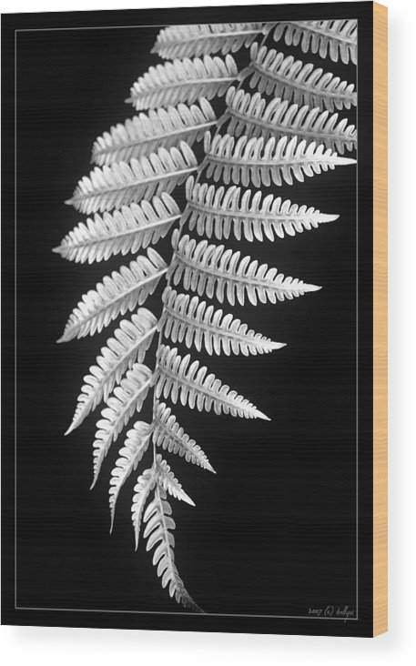 Australia; Floral Wood Print featuring the photograph Fern Dance by Holly Kempe
