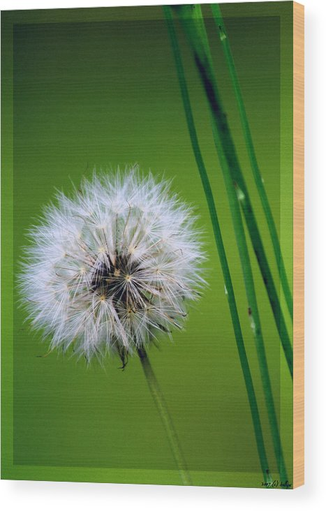 Dandelion Wood Print featuring the photograph Waiting for the Winds of Deliverance by Holly Kempe