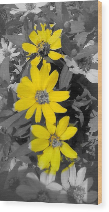 Black And White Photograph With Yellow Daisies Wood Print featuring the photograph Three Amigos- Daisy art yellow flower by Brenda Plyer