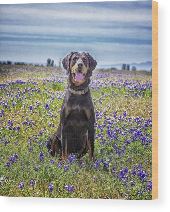 Animal Themes Wood Print featuring the photograph Black And Tan Coonhound In Field Of by Sunmallia Photography