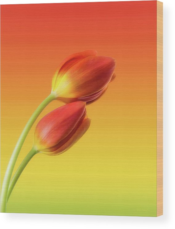 Tulips Wood Print featuring the photograph Colorful Tulips by Wim Lanclus