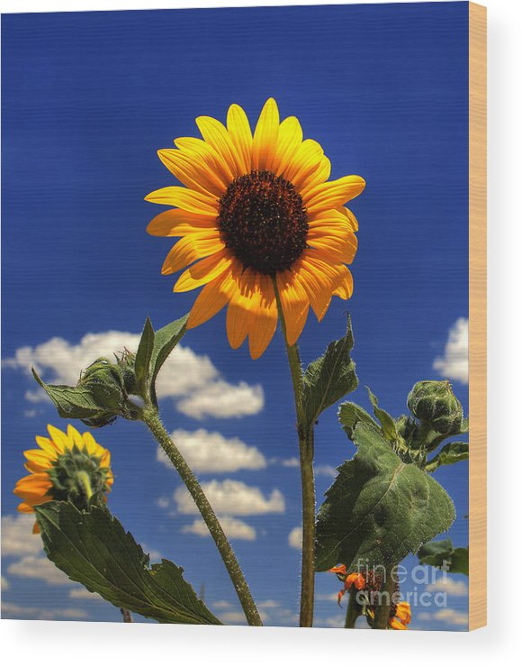 Landscape Wood Print featuring the photograph Sunflower by Pete Hellmann
