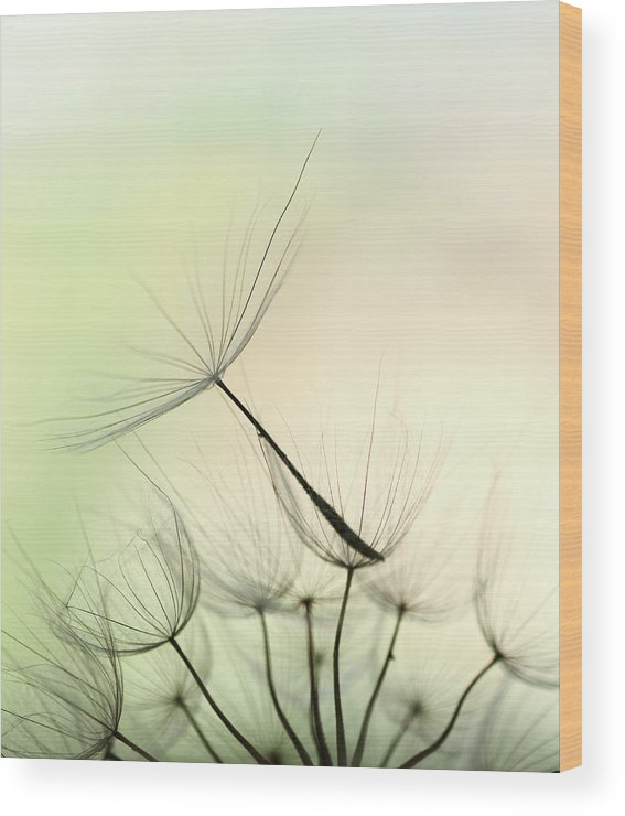 Single Flower Wood Print featuring the photograph Dandelion Seed by Jasmina007