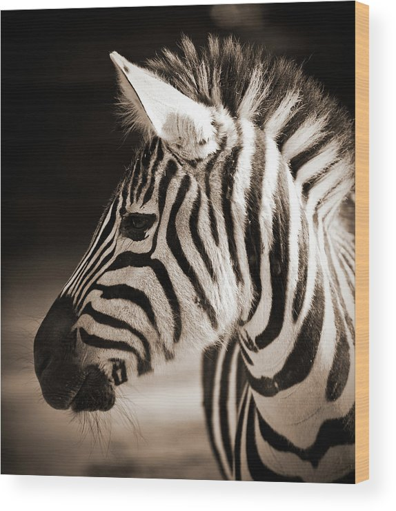 Black Color Wood Print featuring the photograph Portrait Of A Young Zebra by Cruphoto