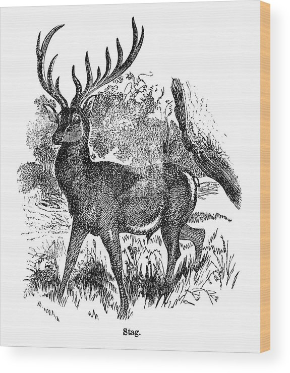 Engraving Wood Print featuring the digital art Red Deer Stag Engraving by Nnehring