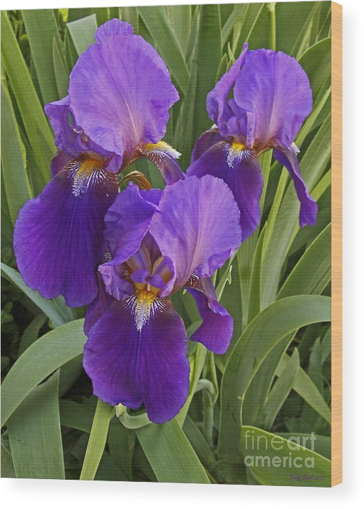 Holy Saturday Flowers 2013 Wood Print featuring the photograph Deep Purple Iris's by Kenny Bosak
