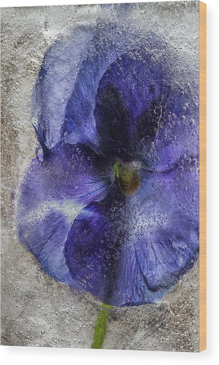 Blue Wood Print featuring the photograph Blue Pansy by Carolyn Odell