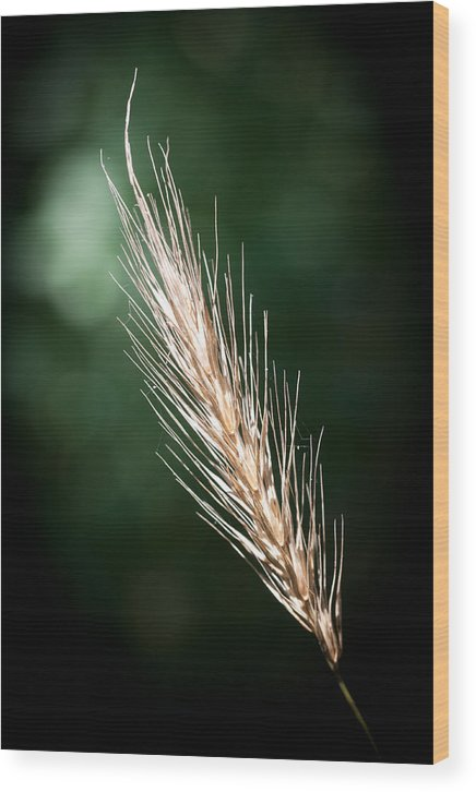 Funks Grove Wood Print featuring the photograph Wheat Grass by Jim Finch