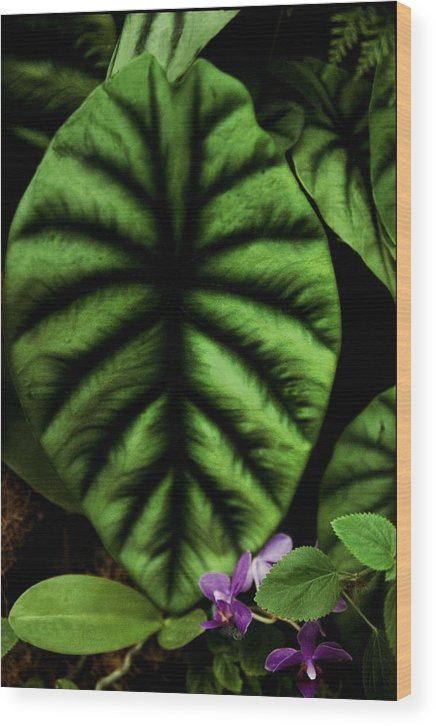 Green Leaf Wood Print featuring the photograph Elephant Ear by Alfredo Martinez