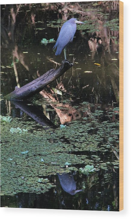 Little Blue Heron Wood Print featuring the photograph Little Blue Times Two by Doris Potter
