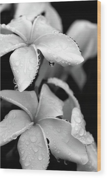 Black & White Wood Print featuring the photograph Plumeria Drip by Peter Tellone