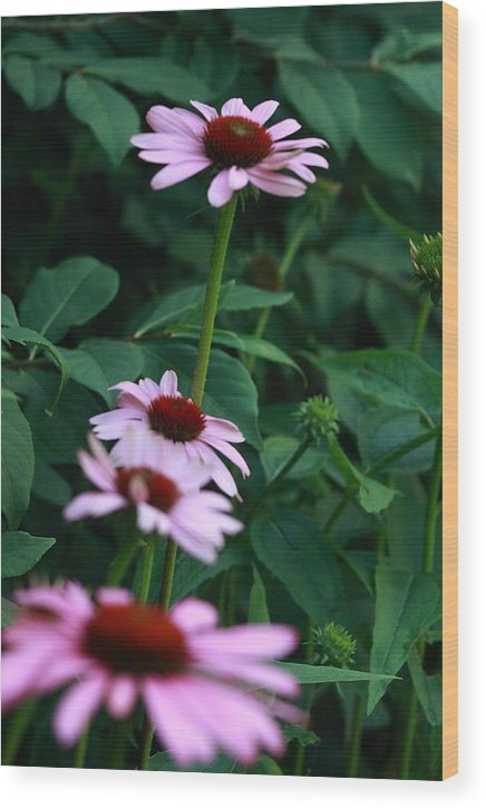 Nature Photo Wood Print featuring the photograph African Daisies 3 by Vivian Cosentino