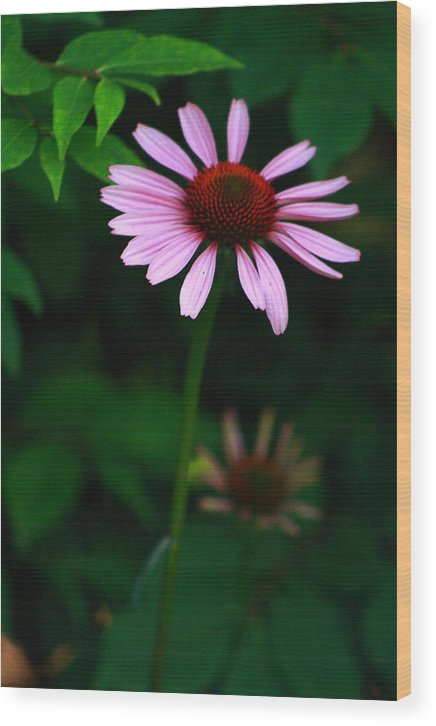 Nature Photo Wood Print featuring the photograph African Daisies by Vivian Cosentino