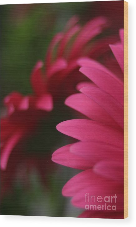 Daisy Wood Print featuring the photograph Daisy Petals by Jeannette Hunt