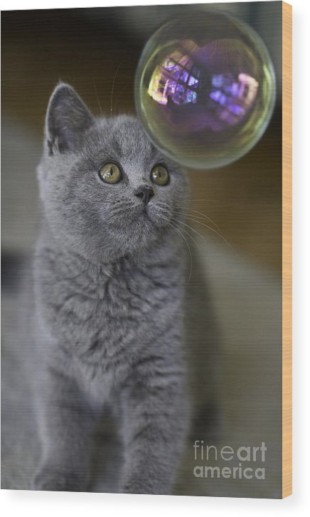 Cat Wood Print featuring the photograph Archie With Bubble by Sheila Smart Fine Art Photography