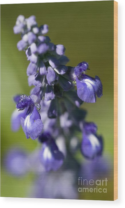 Purple Wood Print featuring the photograph Catch The Dew by Jeannie Burleson
