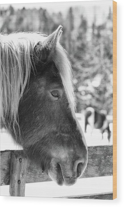 Horse Snow Wood Print featuring the photograph Endless Winter86 Bw by Luc Bovet